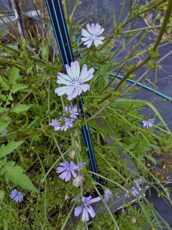 garden_Chicory (600x800)